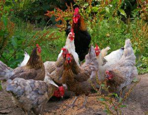 Kippen voor beginners