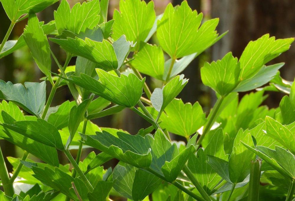 de frisgroene bladeren van de maggiplant
