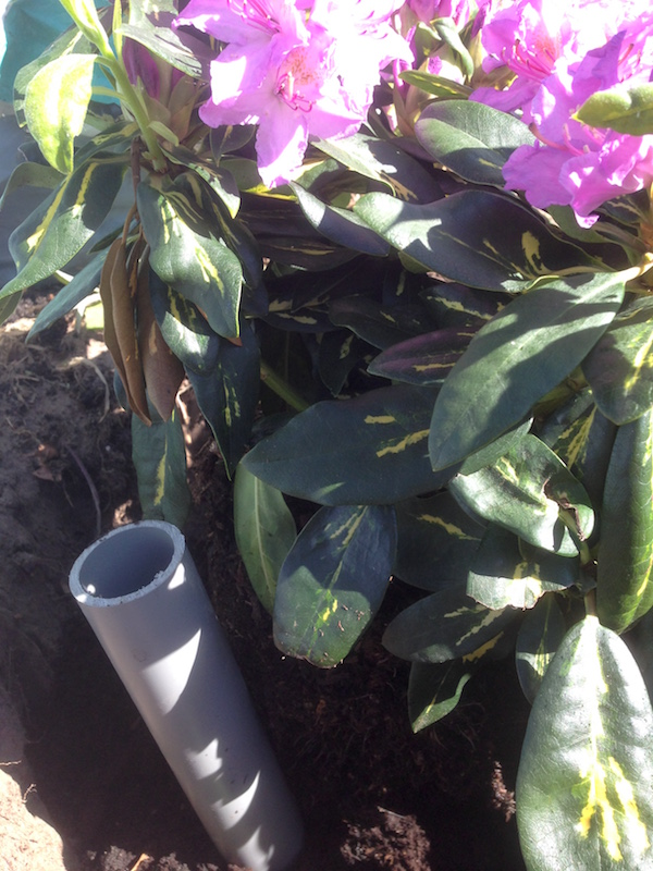 pvc buisje gepland naast de Rododendron