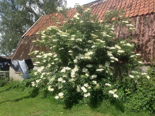 de vlierstruik in de tuin in volle bloei