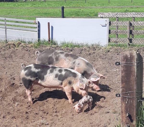 varkens wroeten in de grond