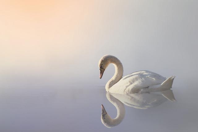 zwaan in de mist, verschillende tinten wit