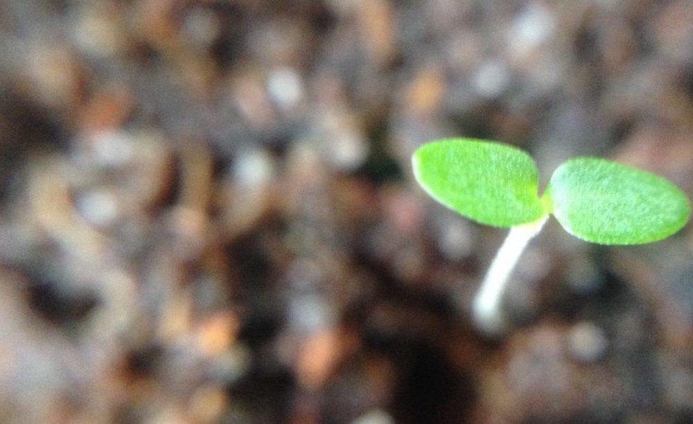 Biologisch tuinieren doe je met biologisch zaad