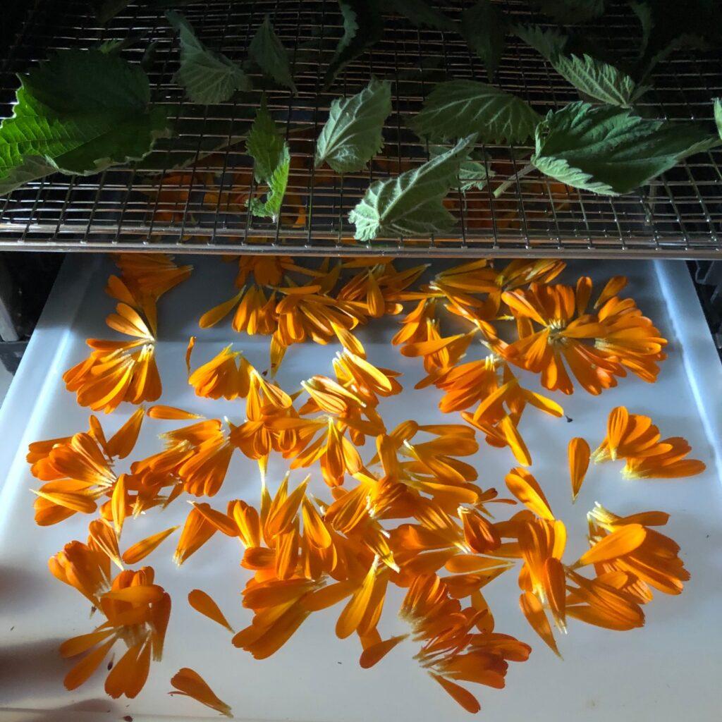 gedroogde goudsbloem in de droogoven