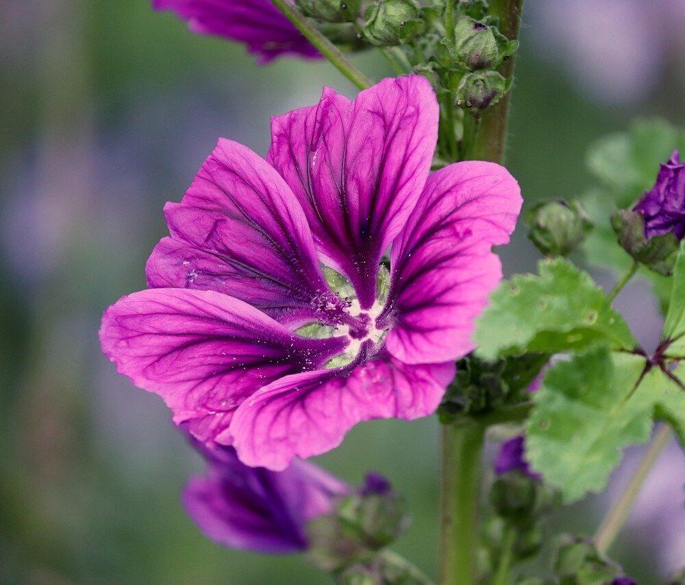 paarse bloem van kaasjeskruid. Je kunt Kaasjeskruid eten