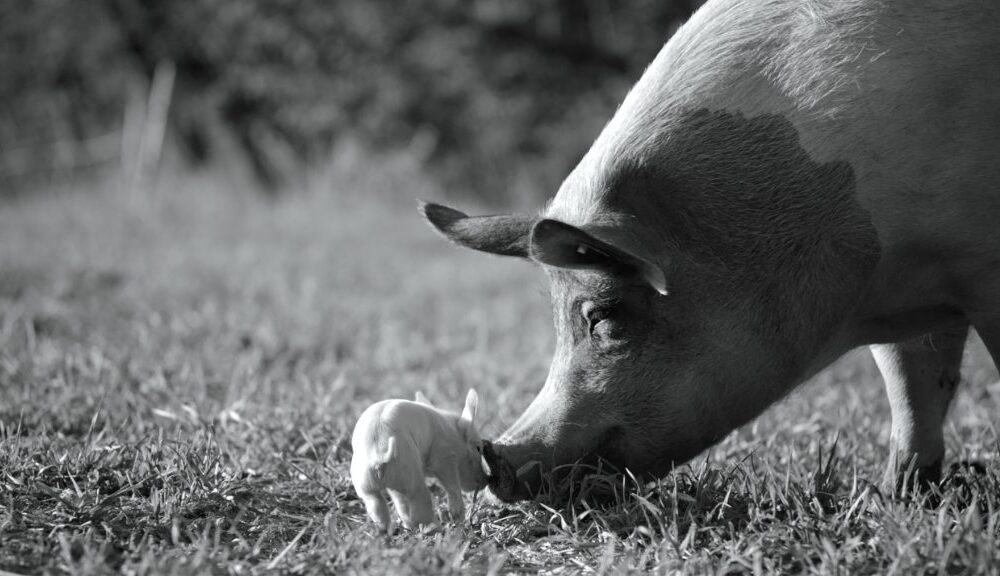 Film: Gunda, over een varken en haar biggetjes